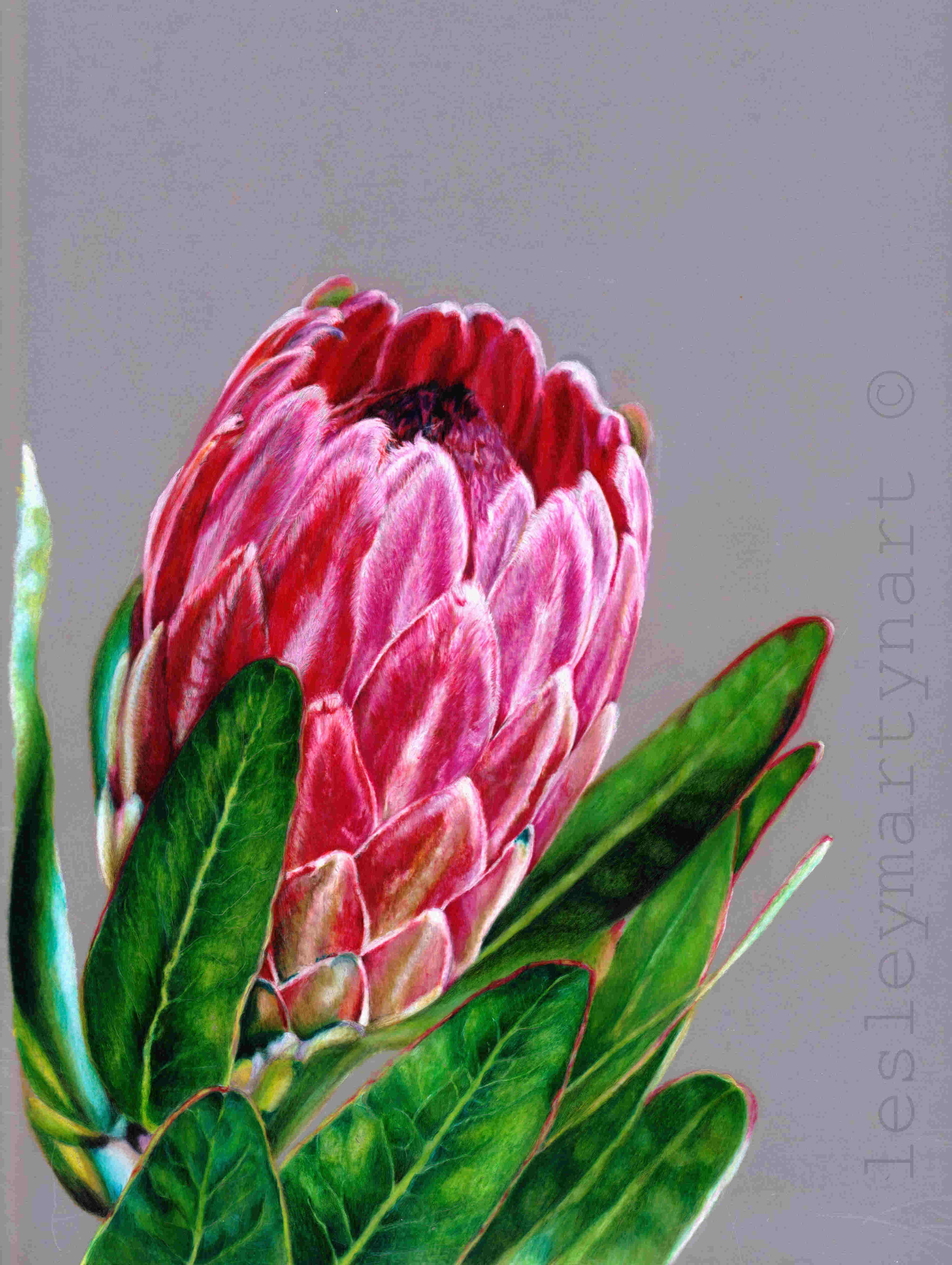Interview: Lesley Martyn Protea_-_FC_Polychromos,_CD_Pablos_and_Luminance_on_A4_Drafting_Film_with_black_backing_-_reference_Pixabay